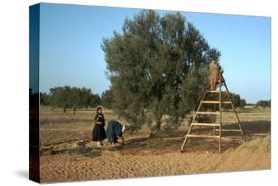 Picking olives in Tunisia. Artist: Unknown-Unknown-Stretched Canvas Print