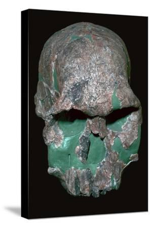 Skull of Homo Habilis. Artist: Unknown-Unknown-Stretched Canvas Print