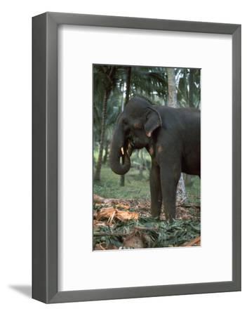 Elephant eating in Sri Lanka. Artist: CM Dixon Artist: Unknown-CM Dixon-Framed Photographic Print