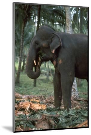Elephant eating in Sri Lanka. Artist: CM Dixon Artist: Unknown-CM Dixon-Mounted Photographic Print