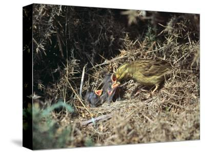 Yellowhammer and a nest-Unknown-Stretched Canvas Print