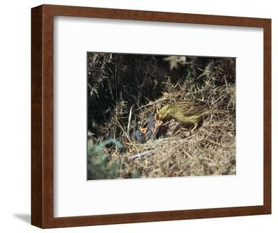 Yellowhammer and a nest-Unknown-Framed Photographic Print