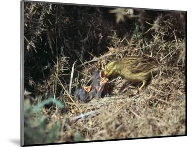 Yellowhammer and a nest-Unknown-Mounted Photographic Print