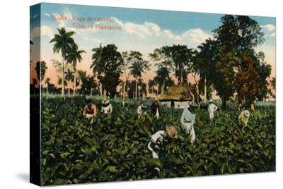 Cuba: Vega de tabaco. Tobacco Plantation, c1900-Unknown-Stretched Canvas Print