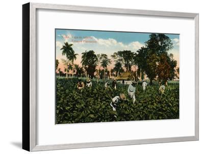 Cuba: Vega de tabaco. Tobacco Plantation, c1900-Unknown-Framed Giclee Print