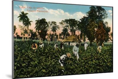 Cuba: Vega de tabaco. Tobacco Plantation, c1900-Unknown-Mounted Giclee Print