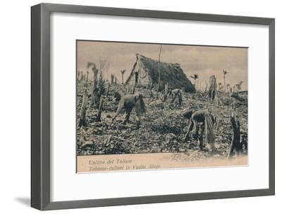 Cultivo del Tabaco. Tobacco-culture in Vuelta Abajo, c1900-Unknown-Framed Giclee Print