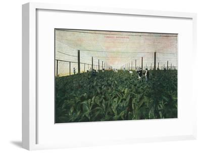 Tobacco Gathering, 1900-Unknown-Framed Giclee Print
