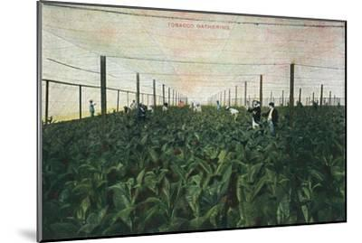 Tobacco Gathering, 1900-Unknown-Mounted Giclee Print