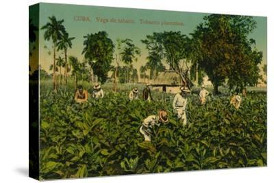 Cuba. Vega de tabaco. Tobacco plantation, c1920s-Unknown-Stretched Canvas Print