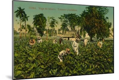 Cuba. Vega de tabaco. Tobacco plantation, c1920s-Unknown-Mounted Giclee Print