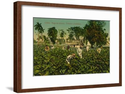 Cuba. Vega de tabaco. Tobacco plantation, c1920s-Unknown-Framed Giclee Print