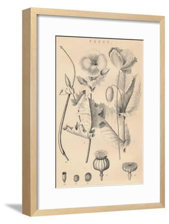 'Poppy', c19th century-Unknown-Framed Giclee Print