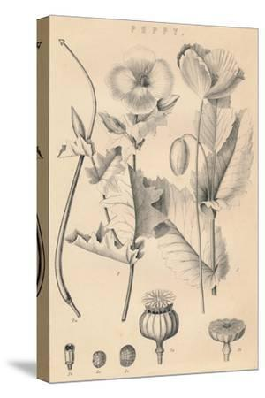 'Poppy', c19th century-Unknown-Stretched Canvas Print