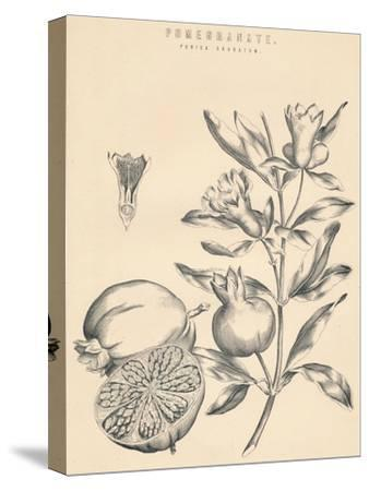 'Pomegranate', c19th century-Unknown-Stretched Canvas Print