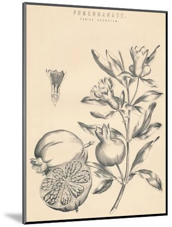 'Pomegranate', c19th century-Unknown-Mounted Giclee Print