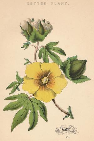 'Cotton Plant', c19th century-Unknown-Framed Giclee Print