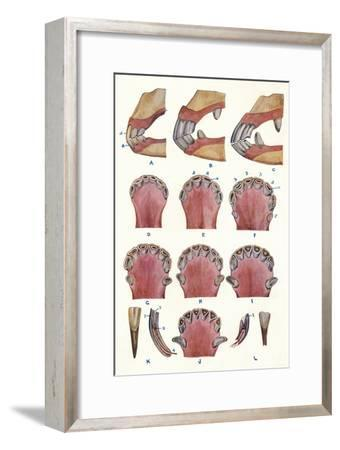 Teeth of a horse as an indication of age, c1905 (c1910)-Unknown-Framed Giclee Print