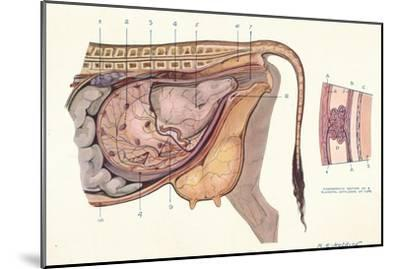 Section of the abdomen of a cow, showing foetus in normal position, c1905-Unknown-Mounted Giclee Print