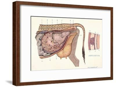 Section of the abdomen of a cow, showing foetus in normal position, c1905-Unknown-Framed Giclee Print
