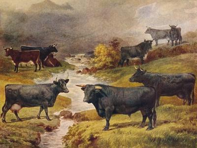 Welsh Black cattle, c1906 (c1910)-Unknown-Framed Giclee Print