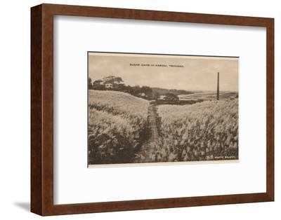 'Sugar Cane in Arrow Trinidad', c1900-Unknown-Framed Photographic Print