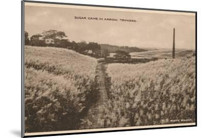 'Sugar Cane in Arrow Trinidad', c1900-Unknown-Mounted Photographic Print
