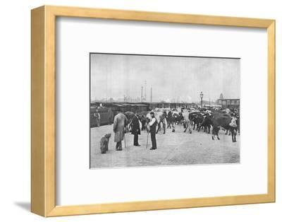 Detraining cattle, LNWR depot, York Road, London, c1903 (1903)-Unknown-Framed Photographic Print