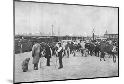 Detraining cattle, LNWR depot, York Road, London, c1903 (1903)-Unknown-Mounted Photographic Print
