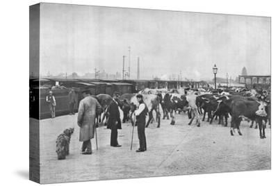 Detraining cattle, LNWR depot, York Road, London, c1903 (1903)-Unknown-Stretched Canvas Print