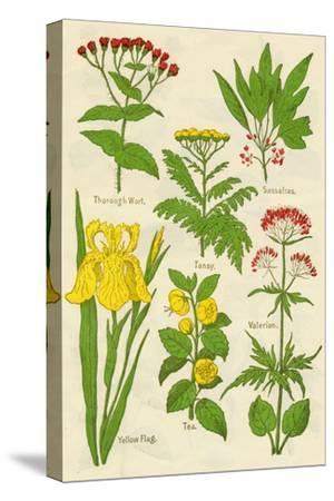 Flowers: Thorough Wort, Tansy, Sassafras, Valerian, Yellow Flag, Tea, Valerian, c1940-Unknown-Stretched Canvas Print