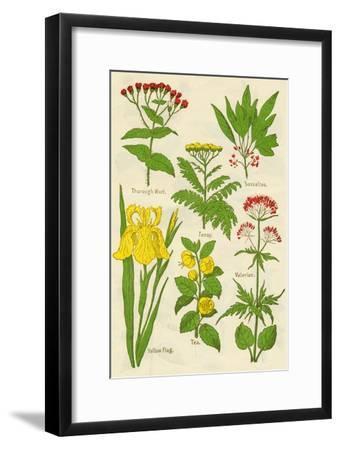 Flowers: Thorough Wort, Tansy, Sassafras, Valerian, Yellow Flag, Tea, Valerian, c1940-Unknown-Framed Giclee Print