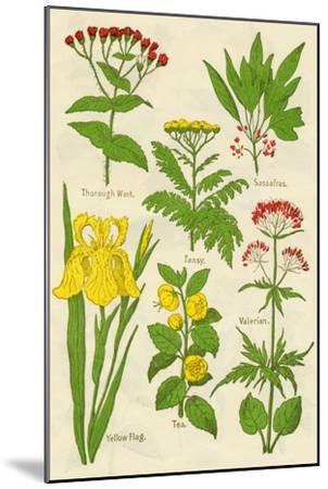 Flowers: Thorough Wort, Tansy, Sassafras, Valerian, Yellow Flag, Tea, Valerian, c1940-Unknown-Mounted Giclee Print
