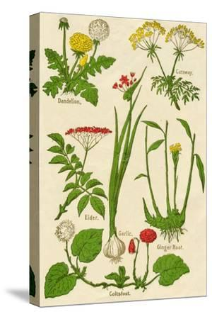 Flowers: Dandelion, Caraway, Elder, Garlic, Coltsfoot, Ginger Root, c1940-Unknown-Stretched Canvas Print