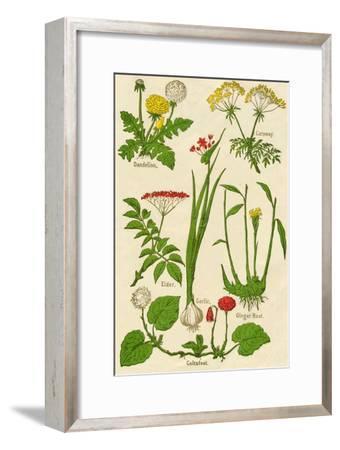 Flowers: Dandelion, Caraway, Elder, Garlic, Coltsfoot, Ginger Root, c1940-Unknown-Framed Giclee Print