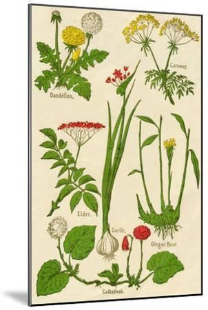 Flowers: Dandelion, Caraway, Elder, Garlic, Coltsfoot, Ginger Root, c1940-Unknown-Mounted Giclee Print