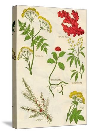 Flowers: Hemlock, Iceland Moss, Ipecacuanha, Indian Hemp, Juniper, Lovage, c1940-Unknown-Stretched Canvas Print