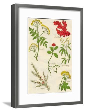 Flowers: Hemlock, Iceland Moss, Ipecacuanha, Indian Hemp, Juniper, Lovage, c1940-Unknown-Framed Giclee Print