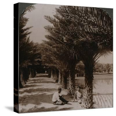 'Tropical beauty of an avenue of date palms, Moanalua near Honolulu, H. Is.' c1900-Unknown-Stretched Canvas Print