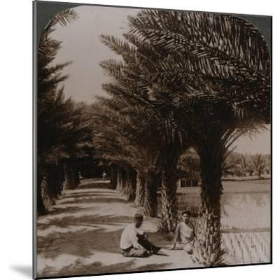 'Tropical beauty of an avenue of date palms, Moanalua near Honolulu, H. Is.' c1900-Unknown-Mounted Photographic Print
