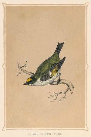 'Golden Crested Wren', (Regulus regulus), c1850, (1856)-Unknown-Framed Giclee Print