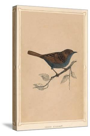 'Hedge Sparrow', (Prunella modularis), c1850, (1856)-Unknown-Stretched Canvas Print