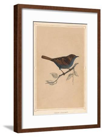'Hedge Sparrow', (Prunella modularis), c1850, (1856)-Unknown-Framed Giclee Print