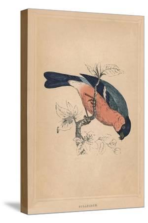 'Bullfinch', (Pyrrhula pyrrhula), c1850, (1856)-Unknown-Stretched Canvas Print