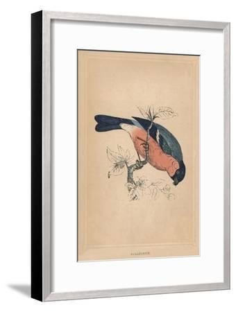 'Bullfinch', (Pyrrhula pyrrhula), c1850, (1856)-Unknown-Framed Giclee Print