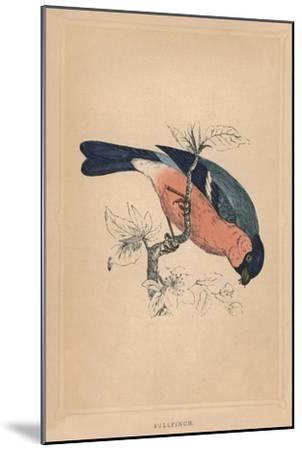 'Bullfinch', (Pyrrhula pyrrhula), c1850, (1856)-Unknown-Mounted Giclee Print