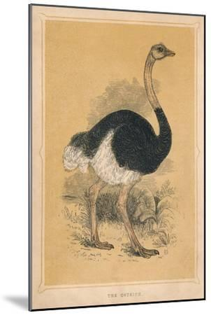 'The Ostrich', (Struthio camelus), c1850, (1856)-Unknown-Mounted Giclee Print