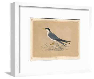 'Tern', (Sternidae), c1850, (1856)-Unknown-Framed Giclee Print