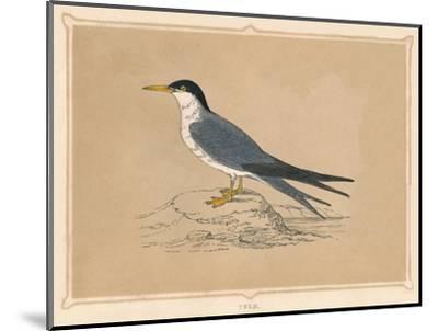 'Tern', (Sternidae), c1850, (1856)-Unknown-Mounted Giclee Print
