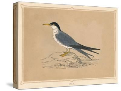 'Tern', (Sternidae), c1850, (1856)-Unknown-Stretched Canvas Print